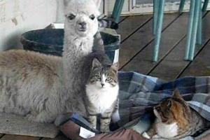仲良しすぎるアルパカと猫が可愛すぎる写真