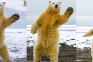 踊る自然のホッキョクグマの写真