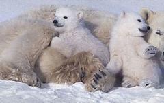 白熊の赤ちゃん