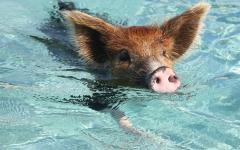 豚さんは実は泳げた!