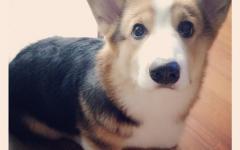 やっぱり可愛いコーギー犬