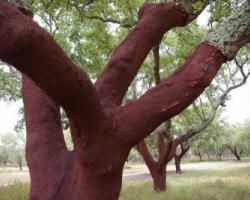 コルクの木から「コルク」が作られる様子の写真