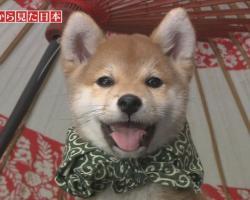 かわいい柴犬の画像