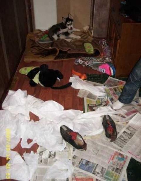 シベンリアン・ハスキー犬はイタズラがお好き♪の写真
