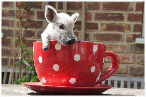 ティーカップの豚の赤ちゃんの写真
