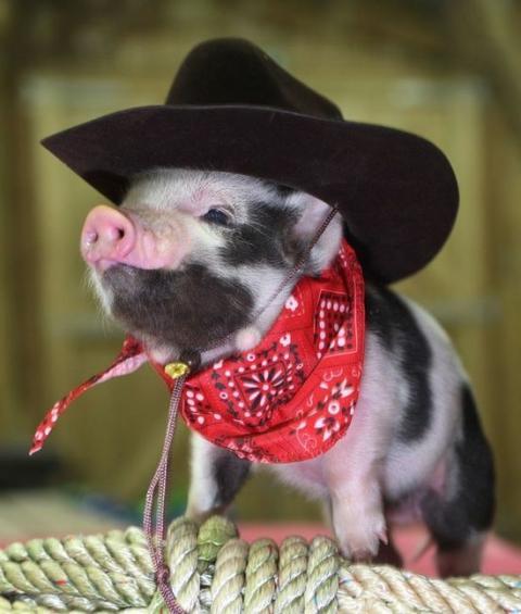 ミニ豚が可愛すぎる写真