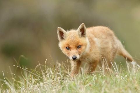 野生の子ギツネの写真