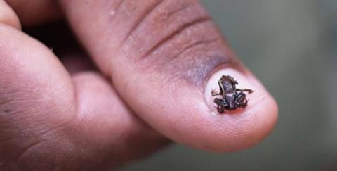 世界最小の脊椎動物!体長わずか7.7ミリのちっちゃいカエルPaedophryne amauensisの写真