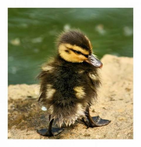 小さい子カモ(鴨)が可愛すぎる写真