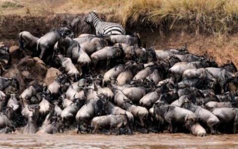 アフリカの大自然でヌーとシマウマが一緒に危険な川を渡る