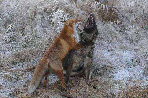 キツネと遊び友達の猟犬が仲良しの写真