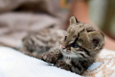 南米のジャガーネコがかわいい写真
