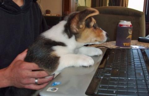 胴長のコーギー犬