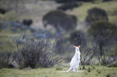 野生のアルビノカンガルーが目立っている写真