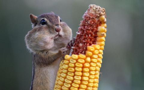 食欲のとどまるところを知らないシマリス