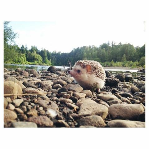 かわいいハリネズミには旅をさせる写真