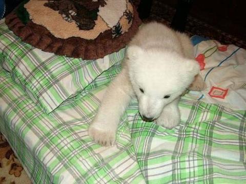 ホッキョクグマの赤ちゃん